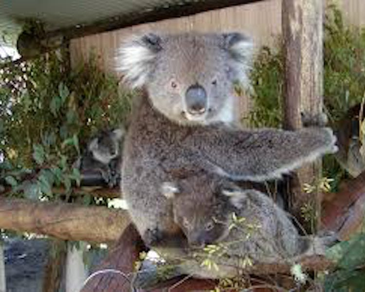 Have a photo with a Koala at Caversham Wildlife Park