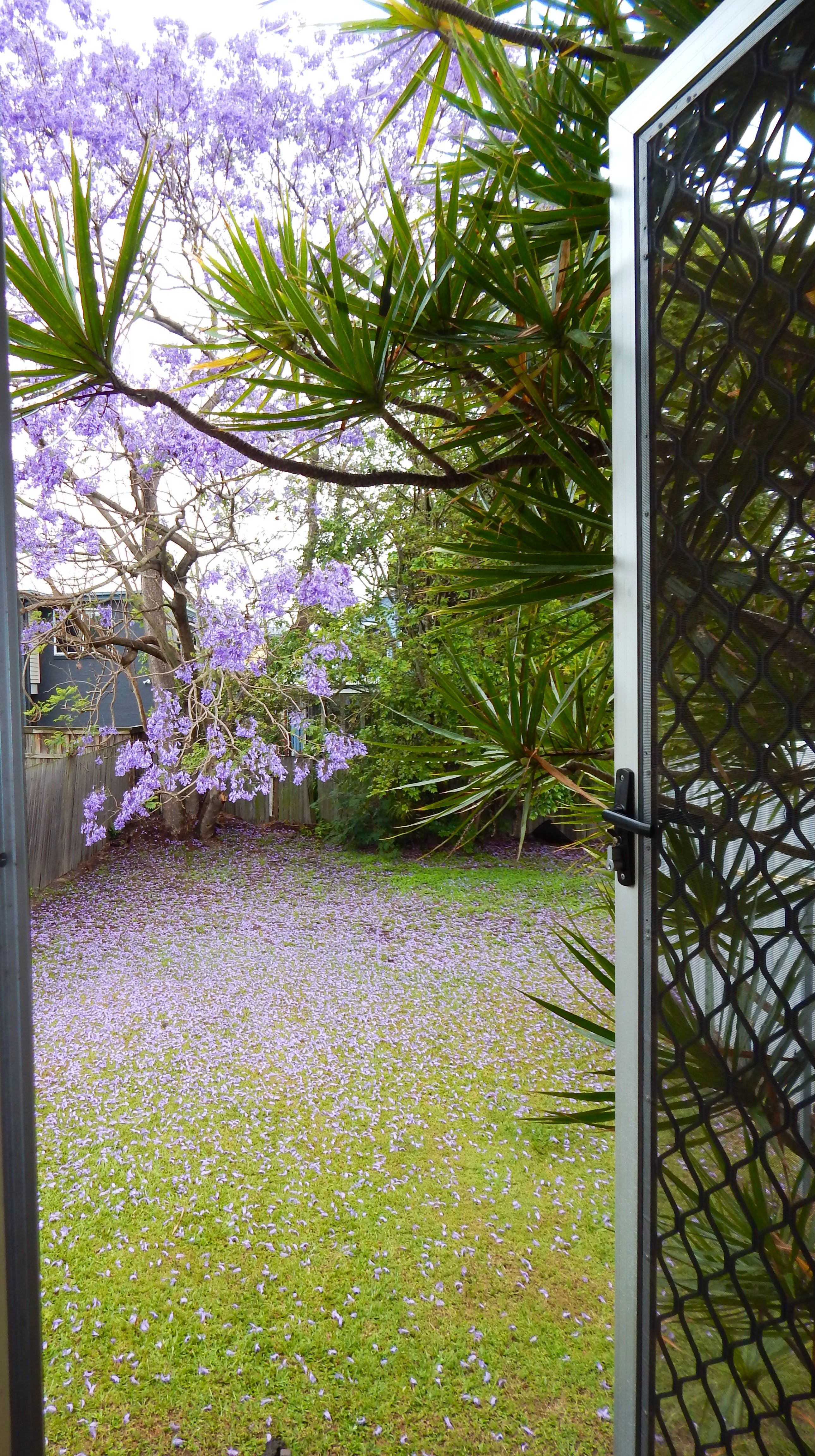 Back yard, jacaranda tree