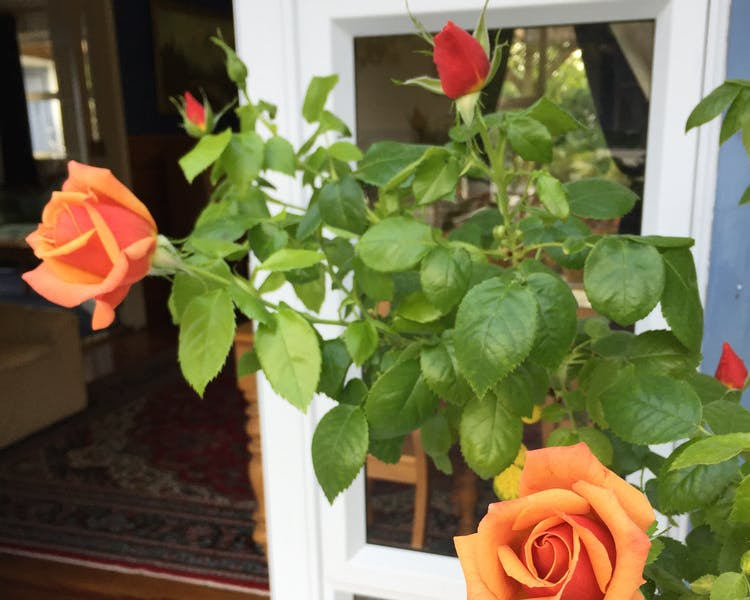 Roses in bloom and entrance into guest lounge at Tongariro Crossing Lodge