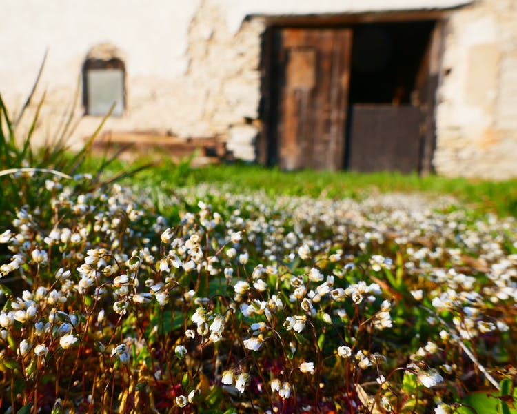 Common whitlow grass in Gotland at Three Pheasants Boutique Bed and Breakfast