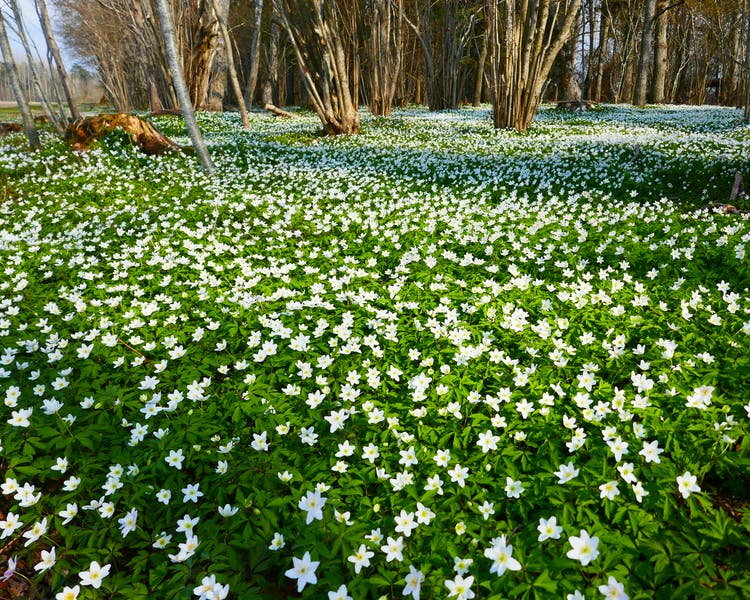 Meadow of anemones in a enge near Ekeby, Visby, Gotland