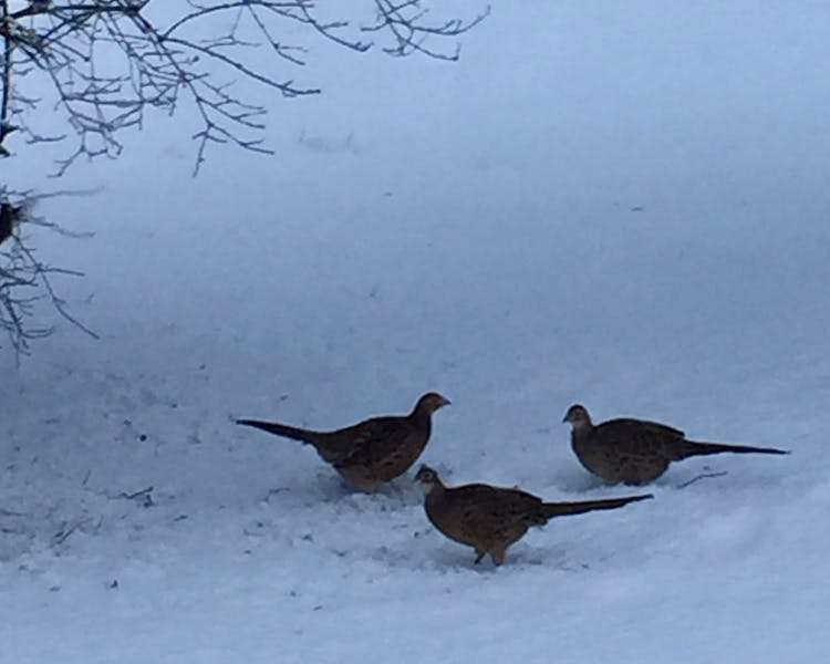 Our three pheasants visiting Three Pheasants Boutique Bed and Breakfast