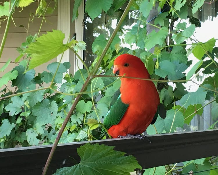 Abundant Birdlife on Anderley property with friendly King Parrots