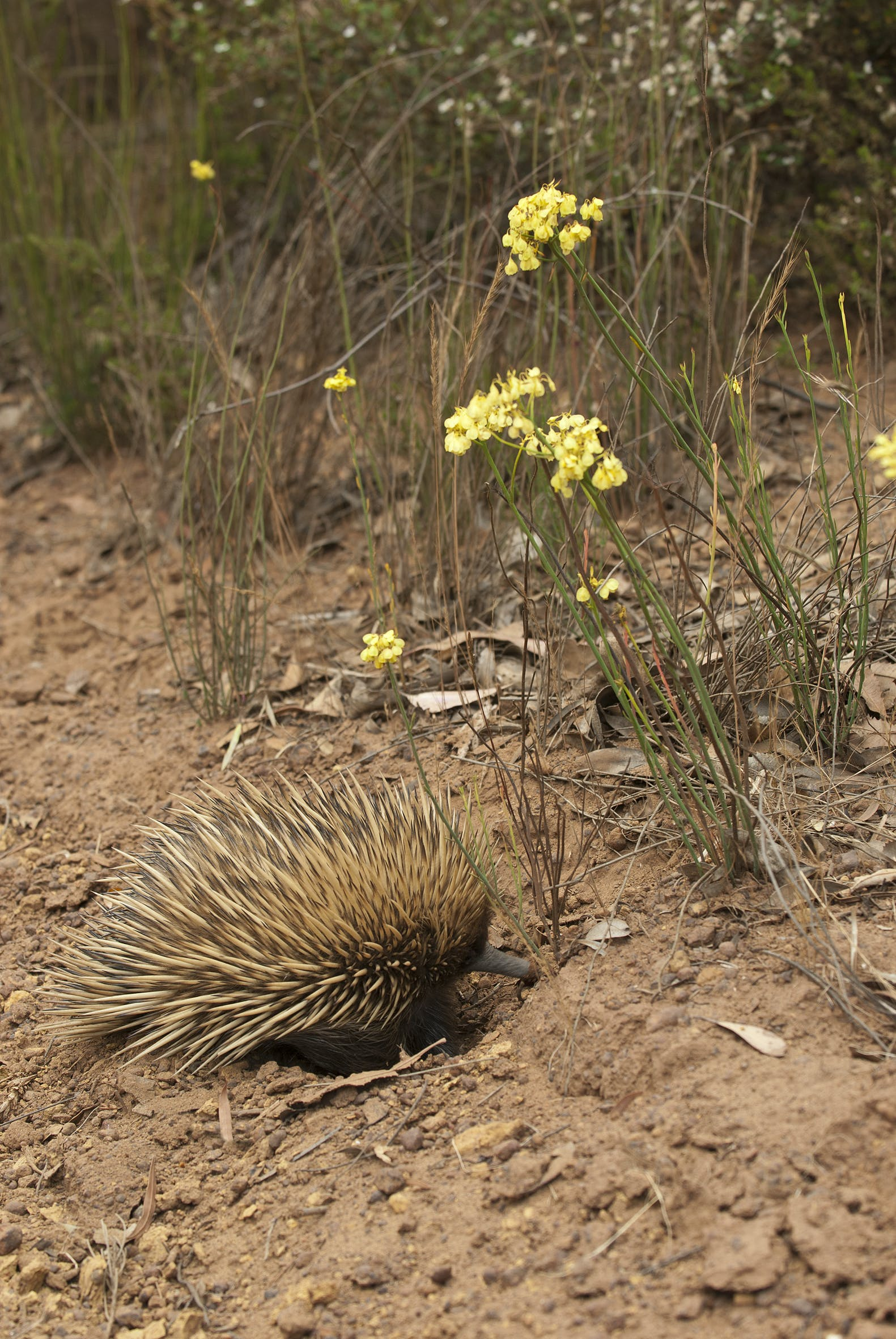 #Echidna egg-laying mammal found on Kangaroo Island