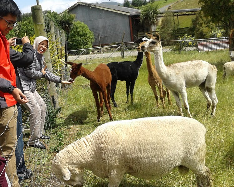 Guests feed friendly Alpaca and Sheep The Reservation B&B Gore