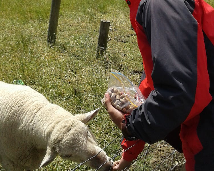 Guest feeding friendly Sheep The Reservation B&B Gore