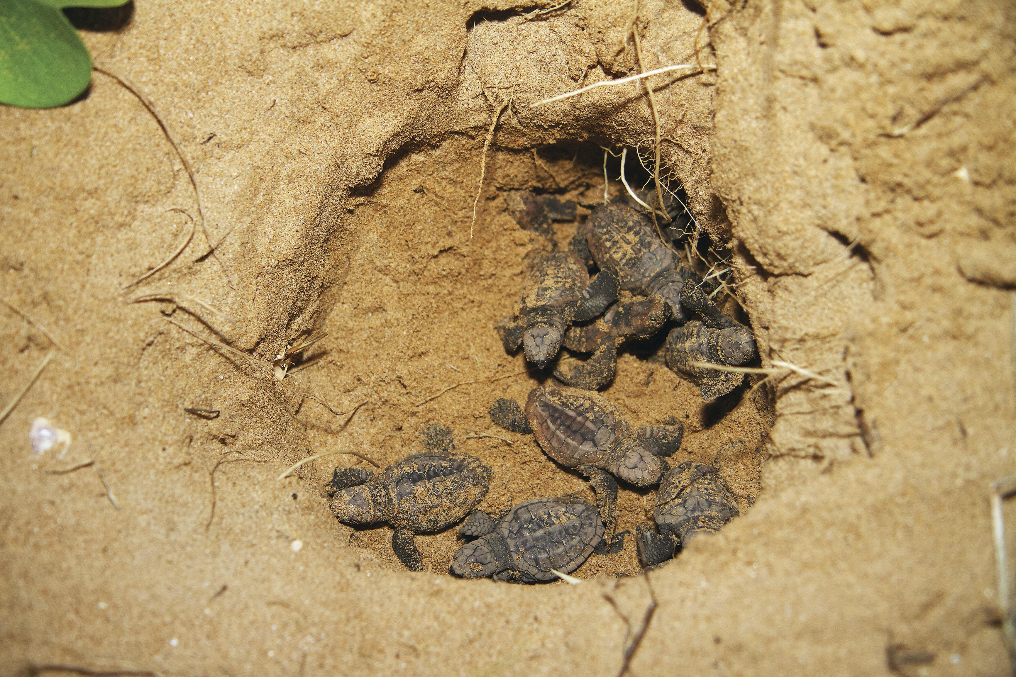 Turtle hatchlings Bundaberg Mon Repos