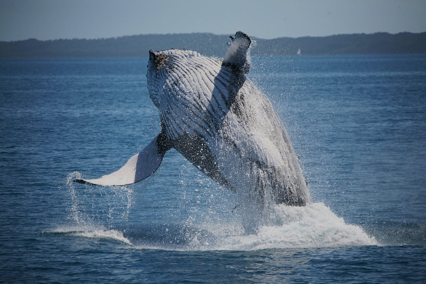 Whales breaching safely in the Bay
