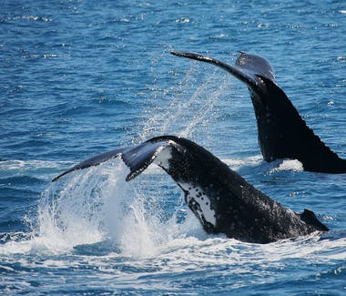Whale watching tours in Hervey Bay