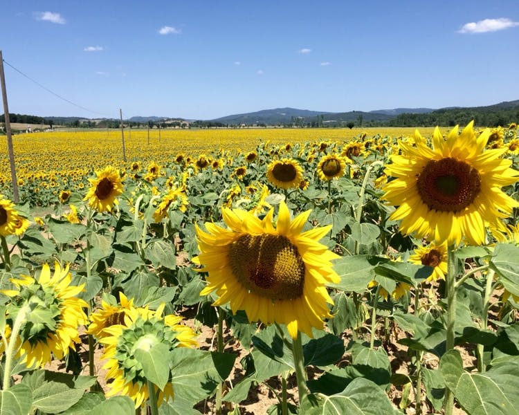 suflowers fields,girasoli