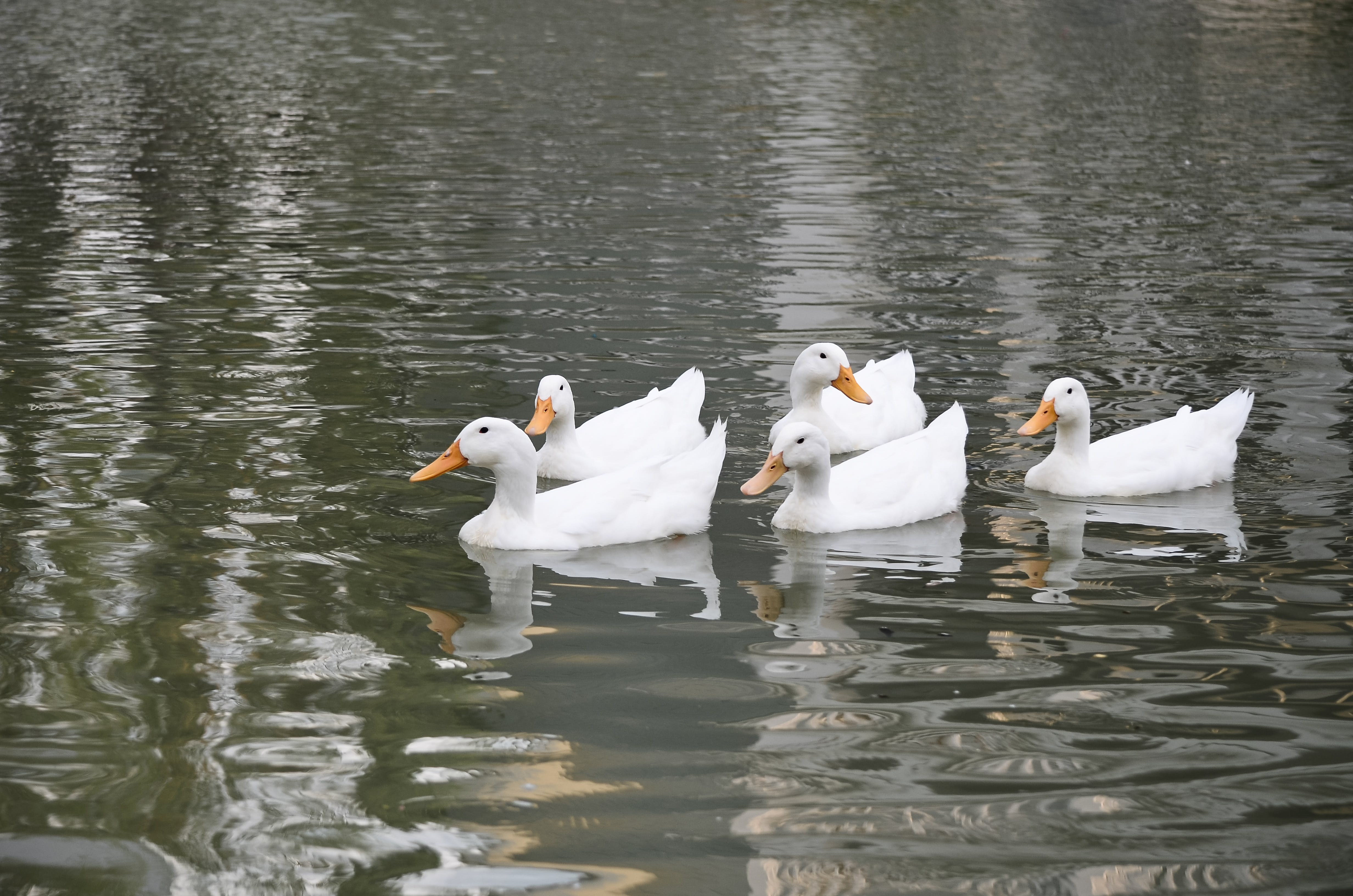 Harbourside At Marker 33, Indian Rocks Beach, 1 or 2 bedroom Condos. Ducks in Pond.