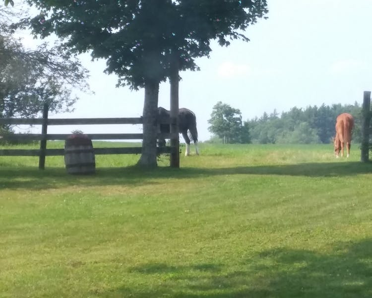 Horses grazing in our back yard