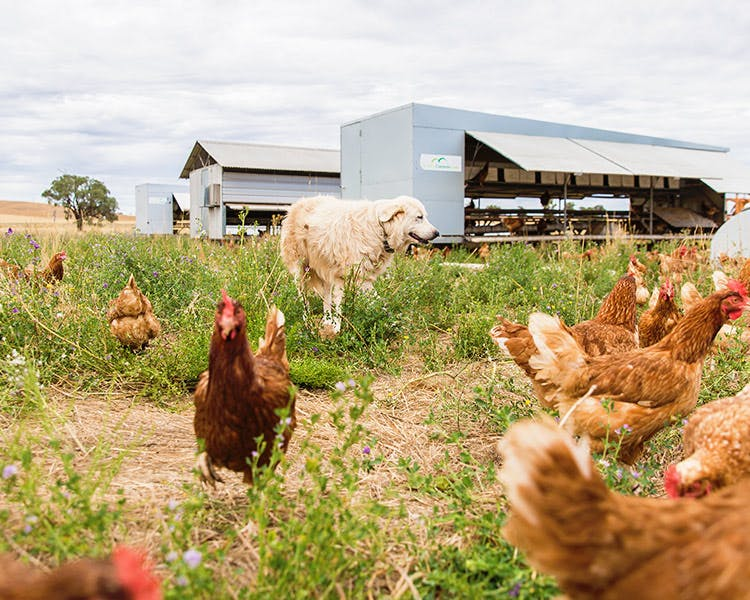 Free range farm in Dubbo