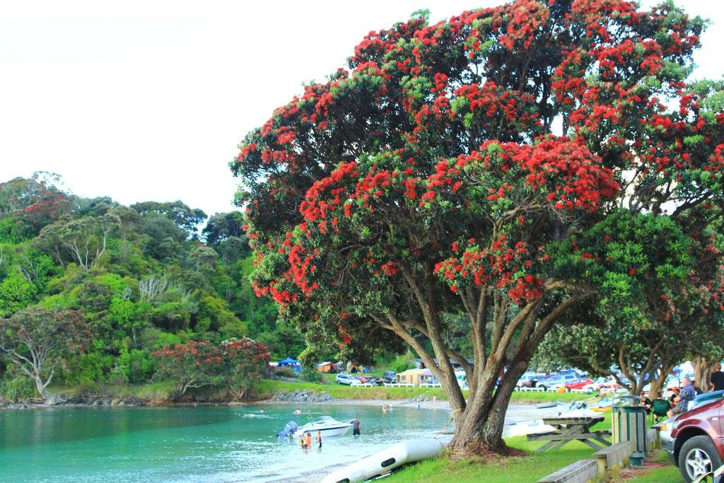 Pohutukawa Tree in flower