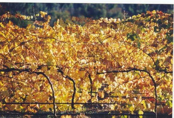Symphony Hill Vineyard during Autummn