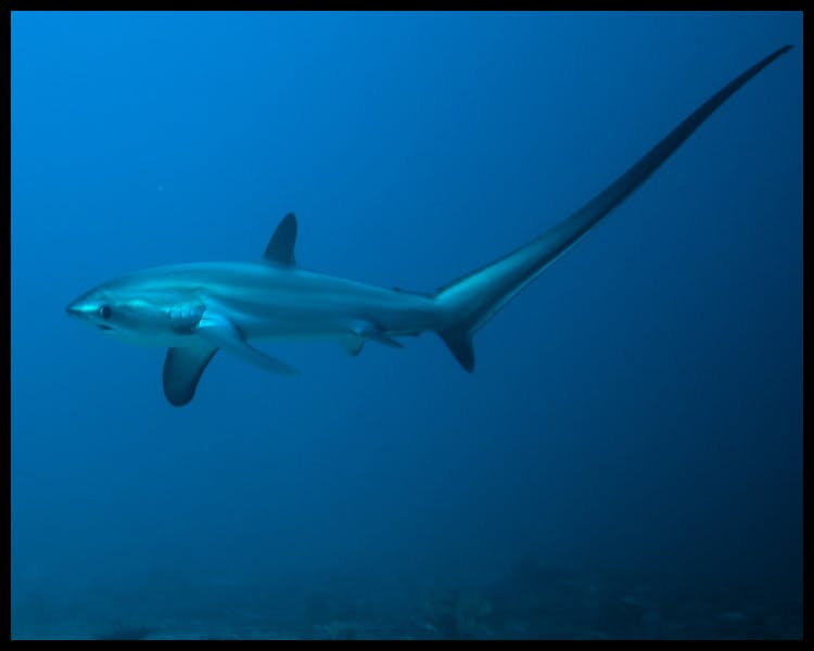 Diving Shark Malapascua Thresher Cheap Fish Dive Scuba Specials macro