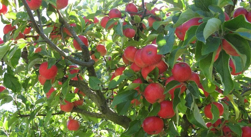 Enjoy Tasmanian apples from the orchard at Hillside Bed & Breakfast, Huonville hillsidebedandbreakfasthuonvalley.com
