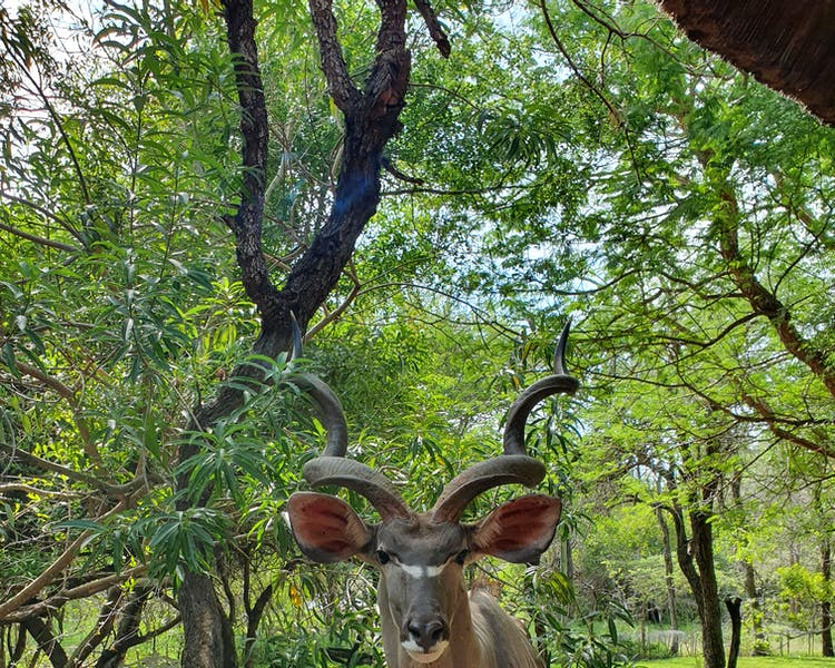 Kudu seeking food