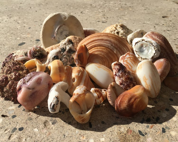 Shells that can be collected on the beach