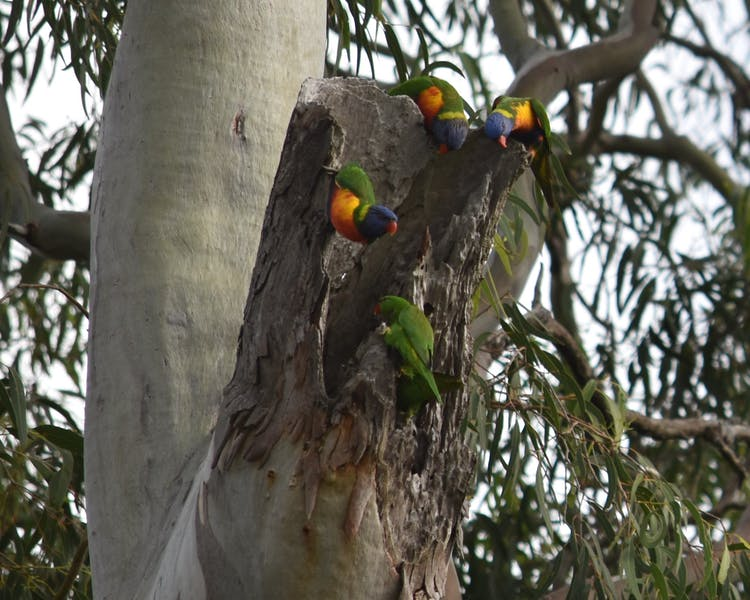 Lorikeets nesting. Bird watchers, 'Twitchers' paradise.