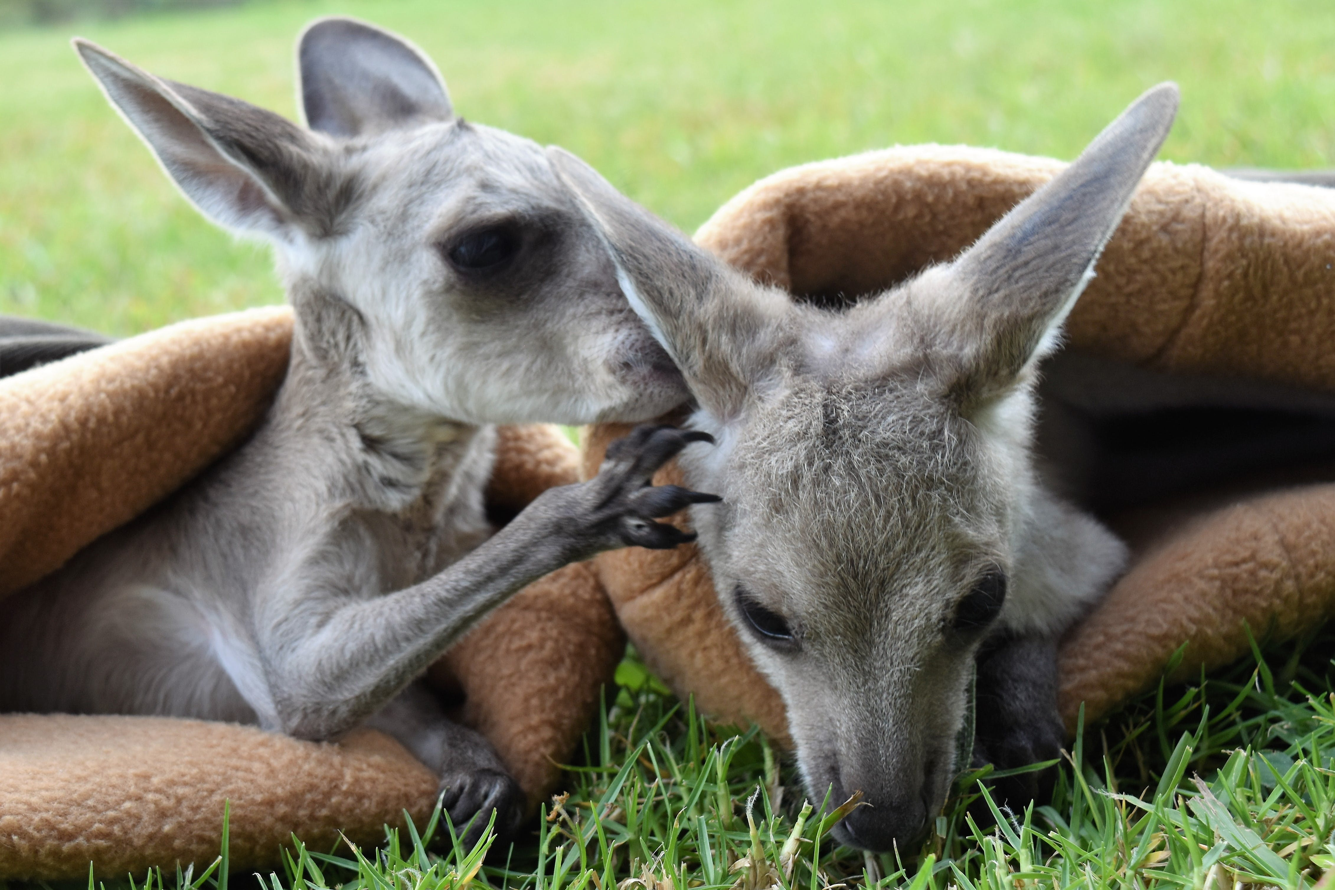 Maple and Syrup, Eastern Grey Joeys sharing a secret