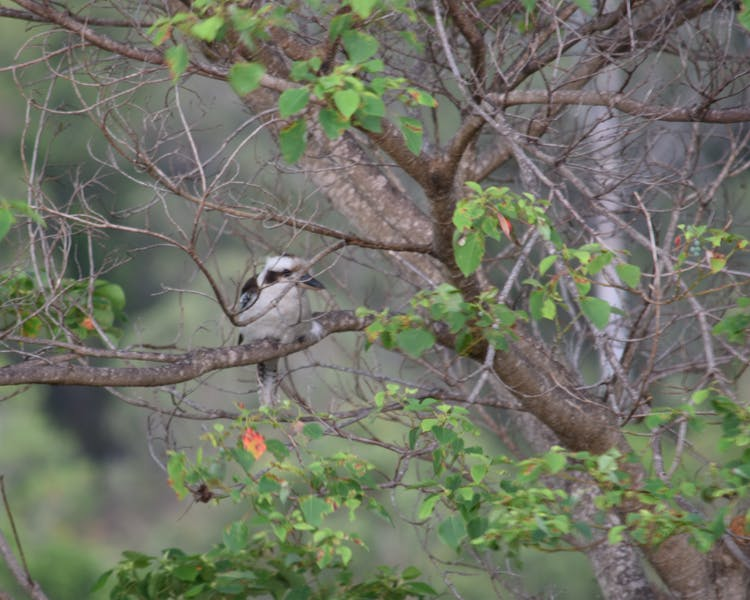 Kookaburra enjoying the back garden.