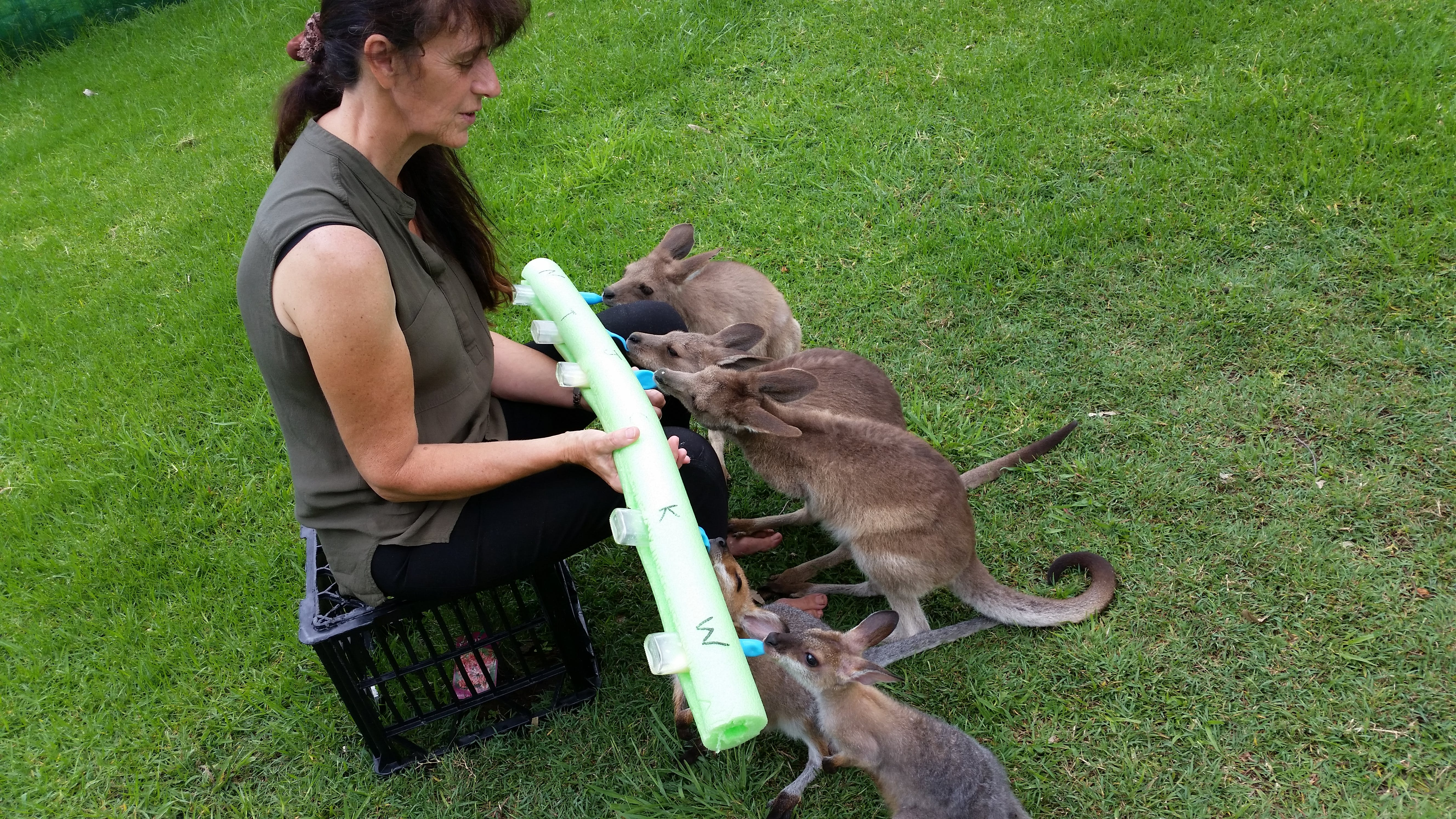 Too many mouths to feed. These orphaned joeys in our care. Please drive quietly when entering and leaving the property.