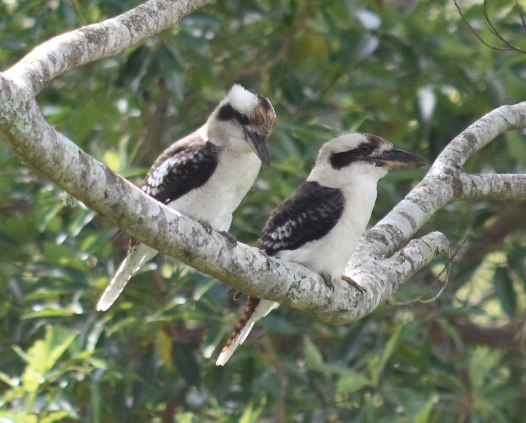 Kookaburras on property, Bird watchers, 'Twitchers' paradise.