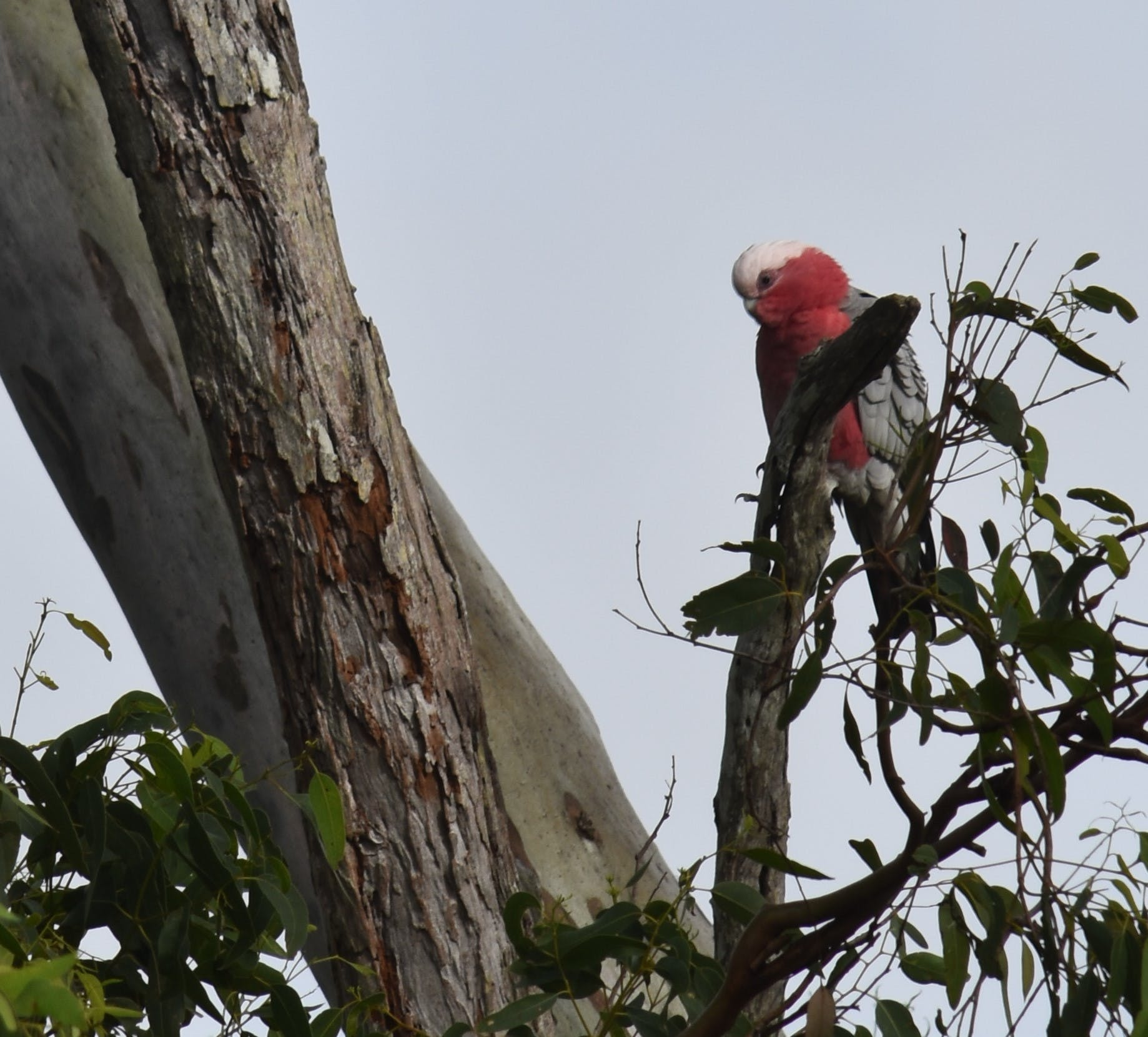 Galah visiting our garden this morning