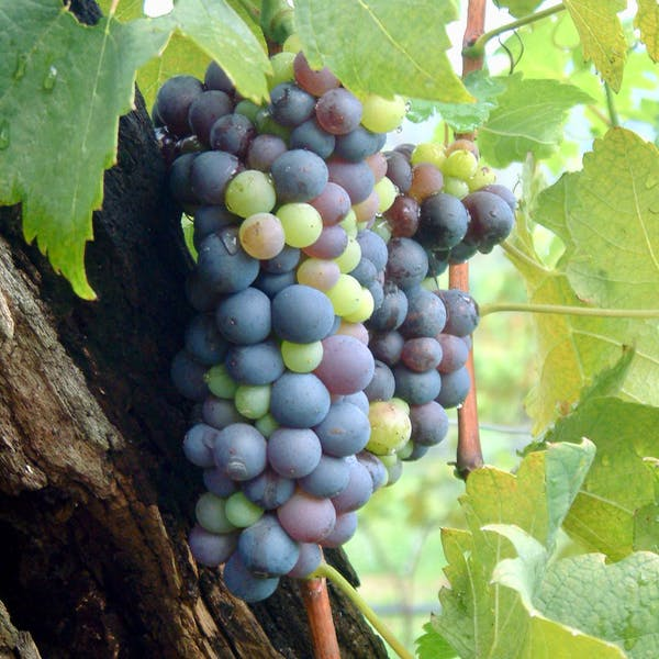 Grape Close-up, size 600x600
