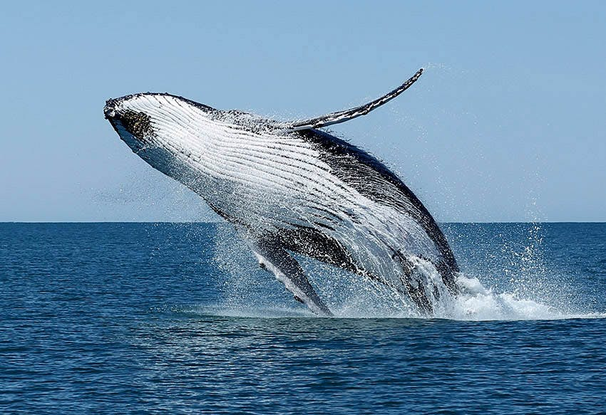 Warroora Station - Ningaloo Reef - Humpback whales.
