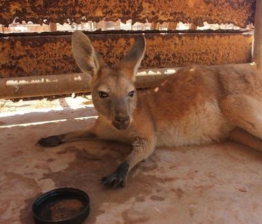 Warroora - Kangaroo resting during hot summer day.