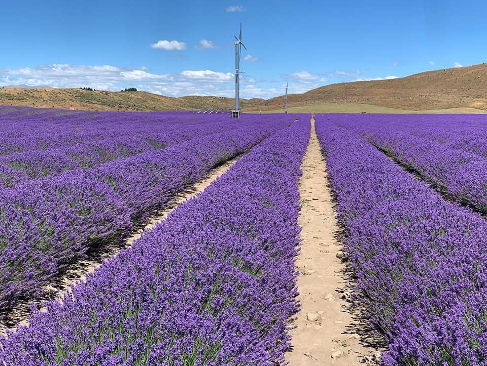 The amazing Alpine Lavender Farms, just up the road from us!