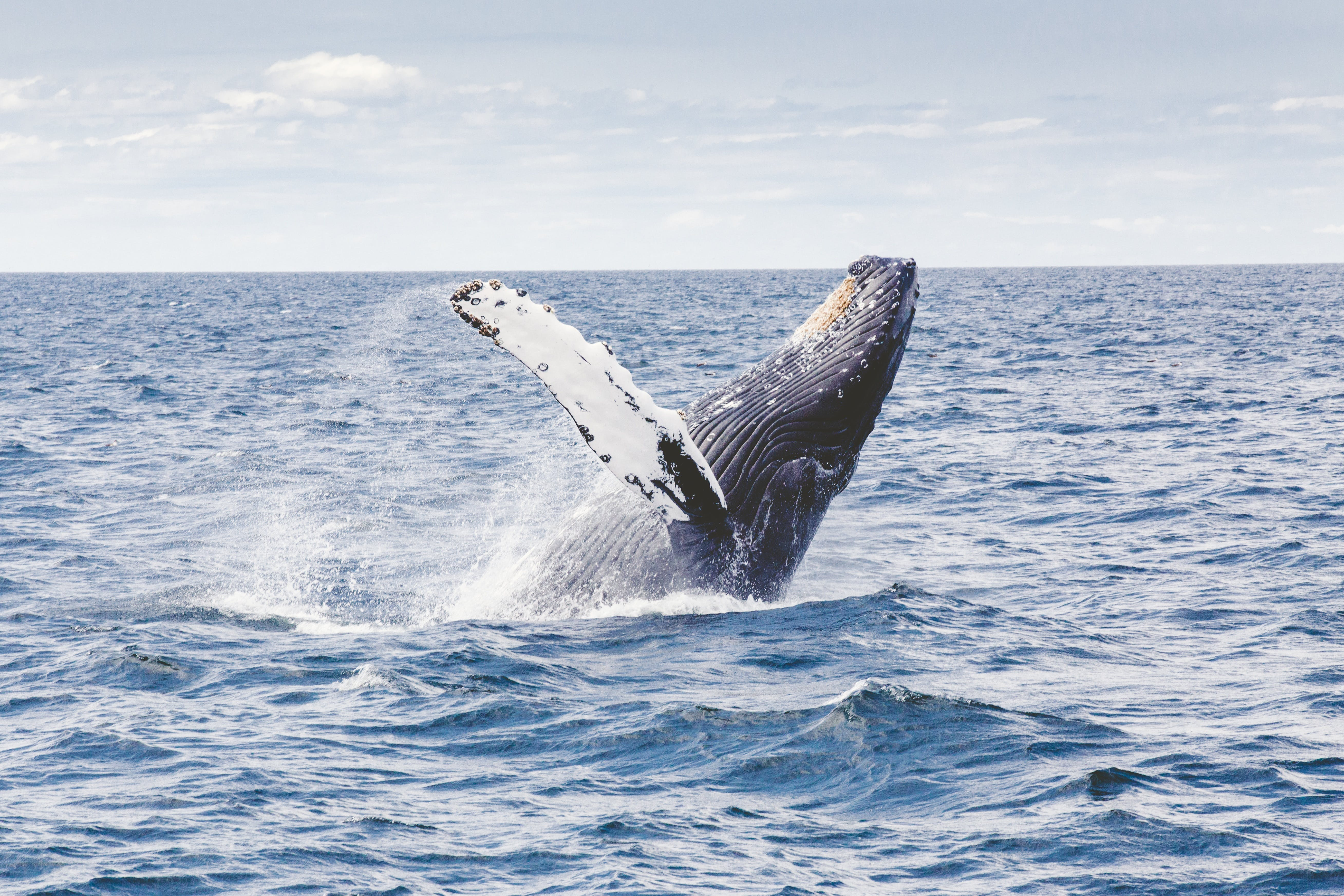 Whale watching, Gray whale, Blue whale and Humpback whales, dolphins, bodega bay