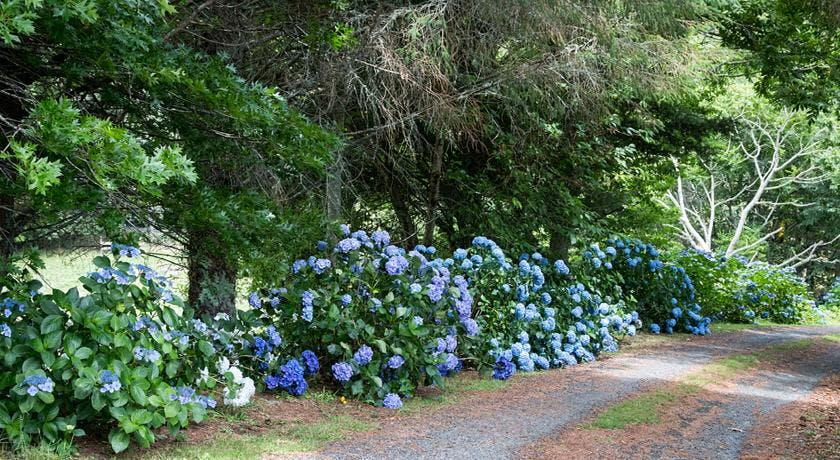 Hydrangeas welcome you at our drive way in January